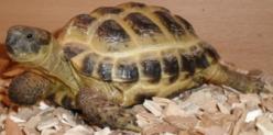 Tortoises for sale, tortoise food