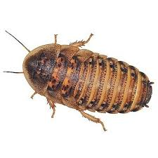 Dubia Roaches Standard