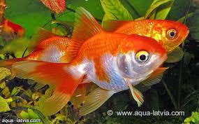 Fancy Goldfish Assorted